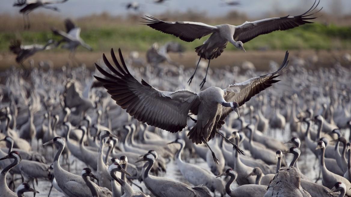Đàn chim di cư khổng  lồThung lũng Hula hút khách đến ngắm chim di cư mỗi năm. Đây là điểm nghỉ chân quan trọng của những con chim khi nằm trên tuyến di cư giữa châu Âu và châu Phi. Hơn 500 triệu con chim bay qua đây 2 lần mỗi năm. Ảnh: Ilan Ramati / Flash90