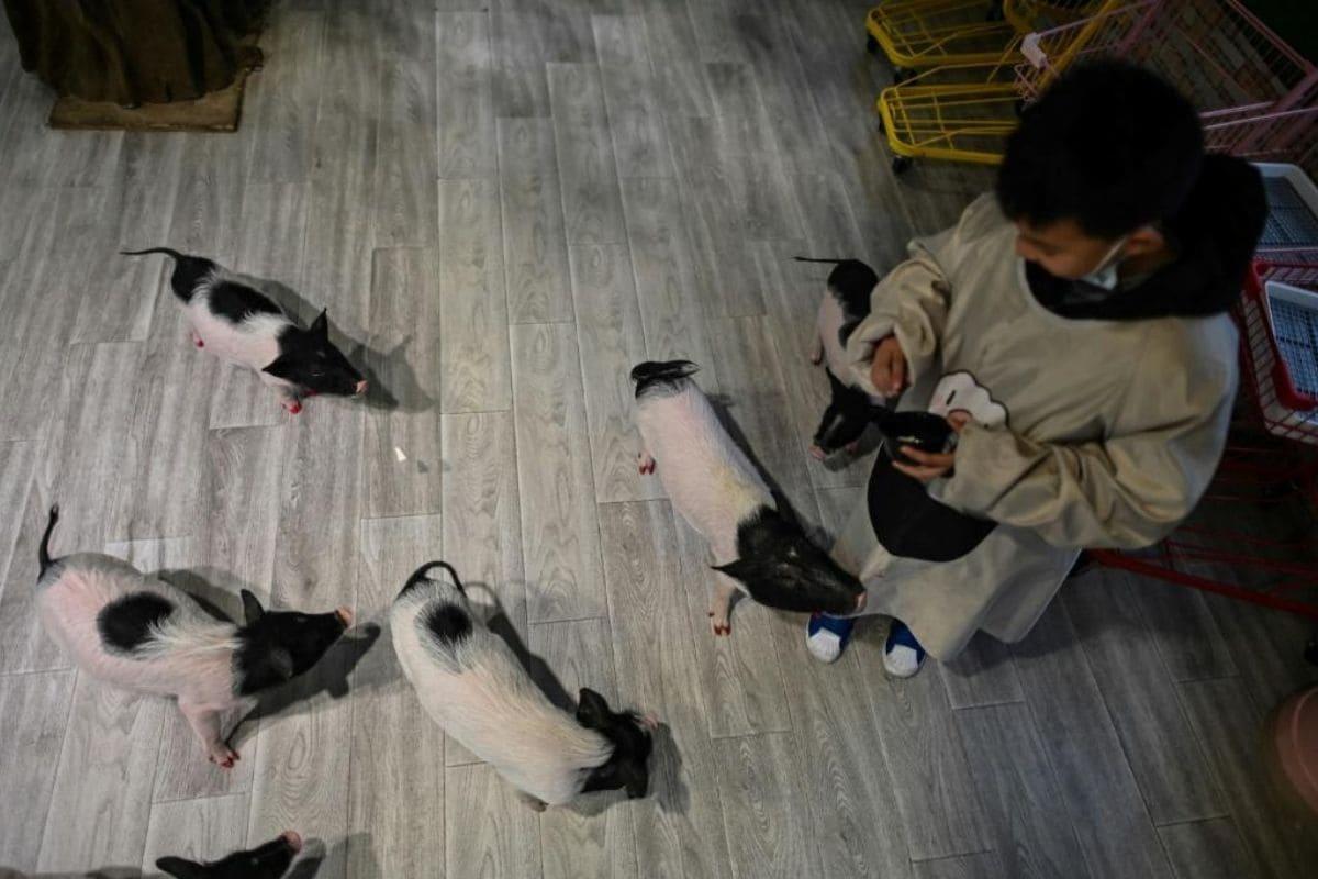 Thực khách cho heo ăn trong quán cà phê. Ảnh: AFP