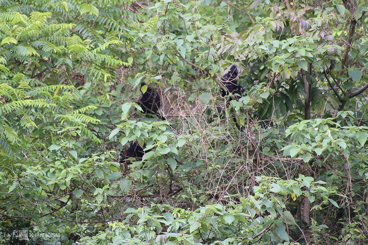 Khu vực này có 22 đàn với 156 con voọc, được bảo vệ cẩn thận bởi người địa phương. Ảnh: Hoàng Táo