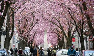 Hoa anh đào nhuộm hồng đường phố Đức