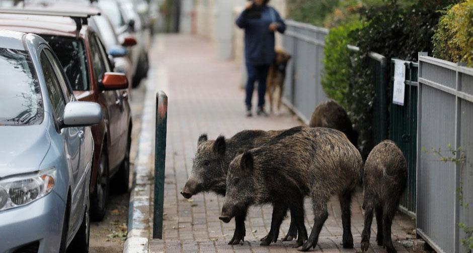 Lợn đi lại thản nhiên trên đường. Ảnh: Menahem Kahana/AFP