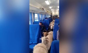 Tàu hỏa để khách ngồi cùng lợn, dê