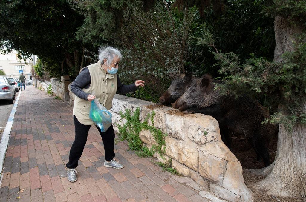 Cư dân thành phố không còn lựa chọn nào khác, ngoài thích nghi với cuộc sống chung đụng này. Một số cho rằng những con vật làm nên nét đặc biệt cho thành phố, góp phần thu hút du khách. Tuy nhiên, một bộ phận dân cư cho rằng chính quyền cần làm gì đó để chấm dứt tình trạng lộn xộn hiện tại, khi không ít trường hợp lợn rừng đuổi hay tấn công người để bảo vệ con nhỏ, vườn nhà của cư dân bị xới tung, và rác bừa bãi khắp nơi. Ảnh: Dan Balilty/New York Times