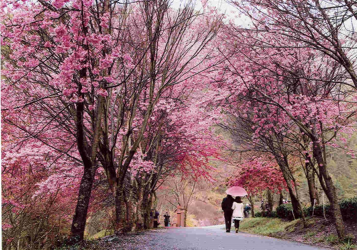 Nông trường Wuling tại Đài Trung là một trong những điểm ngắm hoa anh đào kinh điển trên đảo Đài Loan, với hơn 20.000 cây hoa. Bạn cũng có thể đến Khu giải trí Rừng Quốc gia Aowanda nằm phía sau hồ chứa Wanda, cách thị trấn Puli ở Natou một giờ lái xe để thưởng thức sắc hoa tuyệt đẹp. Ngoài hoa, bạn có thể nhìn thấy rất nhiều đàn bướm xuất hiện ở đây, cũng như ngắm cầu Aowanda hùng vĩ nối rừng thông với điểm giao nhau của hai dòng chảy phía bắc-nam của con sông cùng tên. Ảnh: CNA