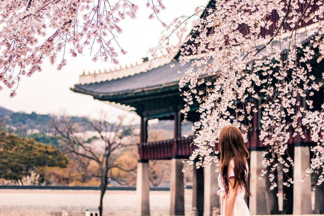 Du khách tới xứ sở kim chi nếu muốn ngắm hoa, bạn nên đi dạo ven hồ tạ công viên Seoul Grand Park, nằm ở phía nam thủ đô. Bạn cũng có thể ghé thăm các cung điện cổ trong thành phố. Đây là các điểm đến không thể tuyệt đẹp hơn để ngắm hoa anh đào, đồng thời tìm hiểu về lịch sử, kiến trúc Hàn Quốc.Đảo Jeju, một trong những điểm đến hút khách của đất nước cũng là nơi phù hợp để ngắm hoa. Trên đảo trồng giống hoa có cánh lớn nhất trong tất cả giống cây anh đào, và chúng được nhìn thấy trên khắp trung tâm Seogwipo, thành phố thứ hai của hòn đảo. Ảnh: Pexels