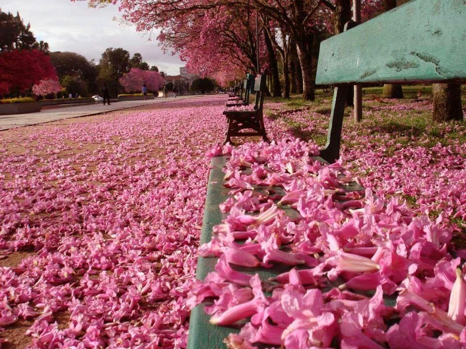 Tại Malaysia, du khách có thể tới thành phố Alor Setar, bang Keadh để ngắm hoa huỳnh liên. Các con đường ở Alor Setar, Jalan Kuala Kedah và Jalan Langgar từ tháng 2 đến tháng 4 đều phủ kín sắc hoa hồng và trắng của loài hoa này. Đây cũng là hai màu sắc đặc trưng gợi nhớ tới sắc hoa anh đào.   Bên cạnh đó, bạn cung có thể tới Penang để ngắm loài hoa này. Bên cạnh những con đường trải thảm hoa hồng, trắng và tím, du khách không nên bỏ lỡ việc khám phá ẩm thực, văn hóa và các di sản nổi tiếng ở nơi đây. Ảnh: Pinterest