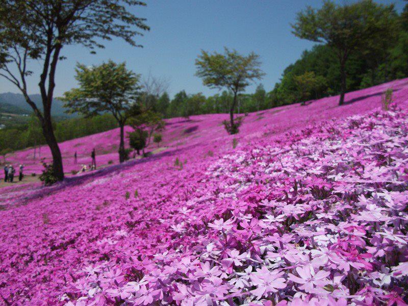 Hoa chi anh là giống hoa mọc sát đất có nguồn gốc từ Mỹ, tên tiếng Nhật là shibazakura có nghĩa là cỏ anh đào. Khi nở hoa mang nhiều sắc hồng từ nhạt tới đậm và đặc biệt lúc rộ nhất thì có màu hồng khá giống hoa anh đào. Ảnh: Kyuhoshi