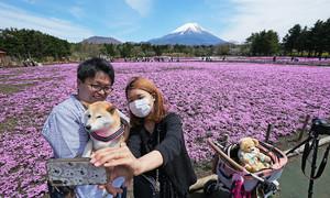 Thảm hoa nở hồng dưới chân núi Phú Sĩ