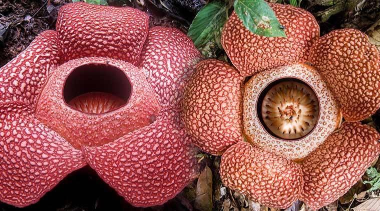 Loài hoa lớn nhất thế giới  Hoa vua Rafflessia Arnoldia (hoa xác thối) là loài hoa lớn nhất thế giới, với kích thước lên đến một mét, nặng hơn10 kg. Nó chủ yếu mọc trong rừng nhiệt đới của Indonesia, rất khó tìm, và chỉ nở trong một vài ngày ngắn ngủi rồi tàn. Ảnh: Indian Express