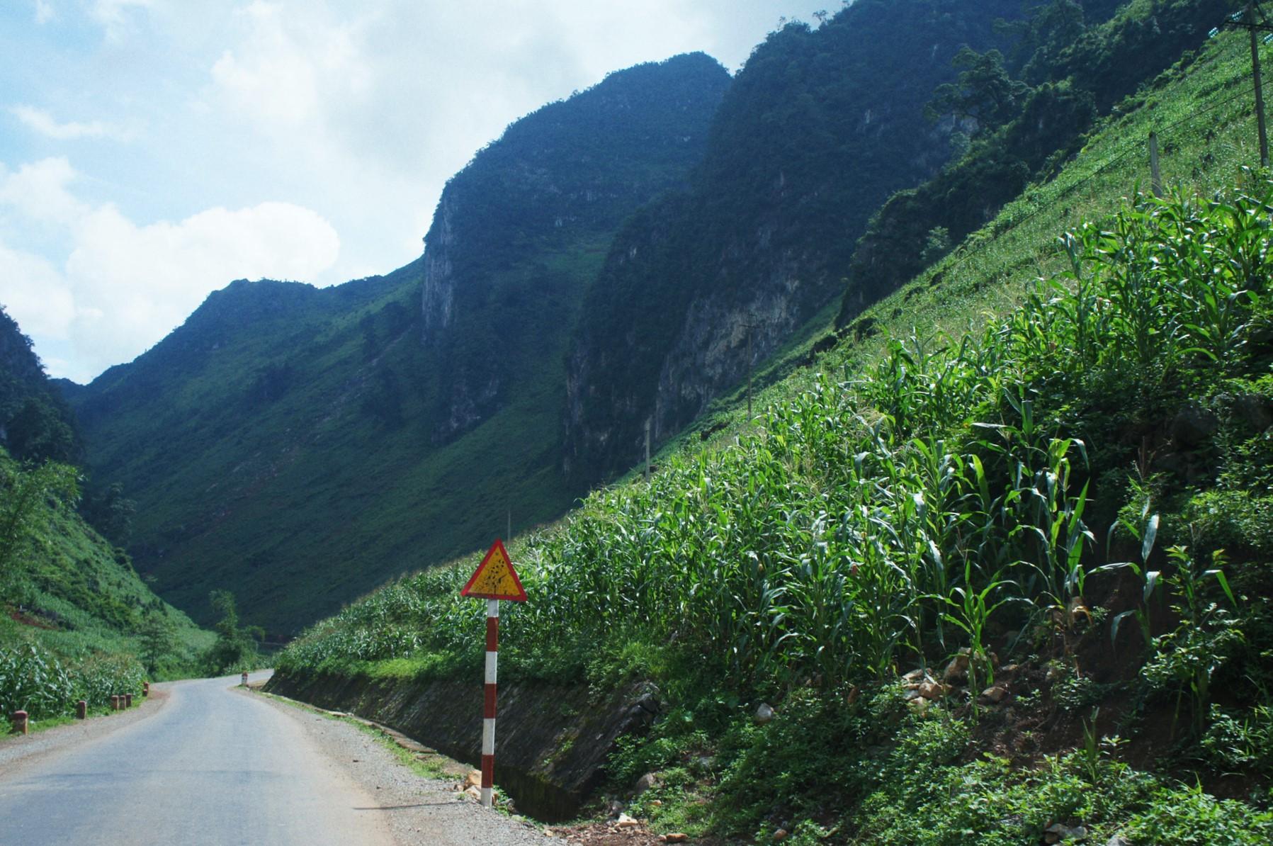 Mùa ngô xanh mướt trên cao nguyên đá Đồng Văn - 2
