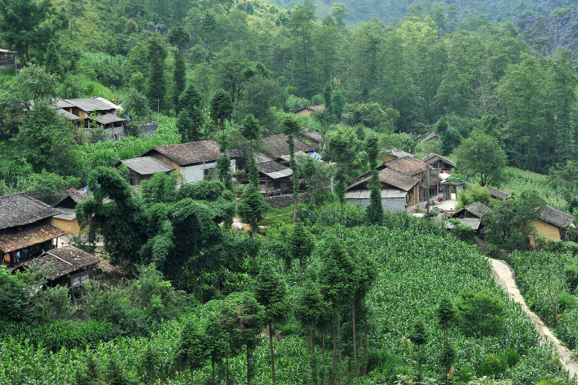 Mùa ngô xanh mướt trên cao nguyên đá Đồng Văn - 6