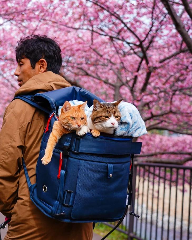 Mèo Fuku-chan và Daikichi đến từ Nhật BảnCâu chuyện du hành của những con mèo hoang này bắt đầu khi một doanh nhân Nhật Bản Daisuke Nagasawa, người điều hành một công ty công nghệ, nhận nuôi chúng. Lúc đầu, mọi thứ diễn ra tốt đẹp, nhưng sau đó mèo Daikichi bắt đầu khó chịu và gây hấn do Nagasawa đi công tác quá lâu. Cuối cùng, chàng doanh nhân nhận ra rằng anh không thể đi du lịch mà không có mèo cưng của mình, phân công mèo Daikichi 13 tuổi làm quản lý, mèo Fuku-Chan 7 tuổi làm thư ký công ty. Người đàn ông và những người bạn đồng hành đầy lông của mình đã cùng nhau đi khắp 47 quận ở Nhật Bản trong một chiếc ba lô và một chiếc xe nôi mà Nagasawa gọi là xe limousine của công ty. Ảnh: @the.traveling.cats/Instagram