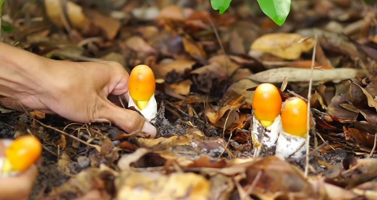Nấm trứng gà có màu vàng óng, mọc dưới những tán cây dầu ở huyện Hớn Quản. Ảnh: Ẩm Thực Đồng Hao/YouTube