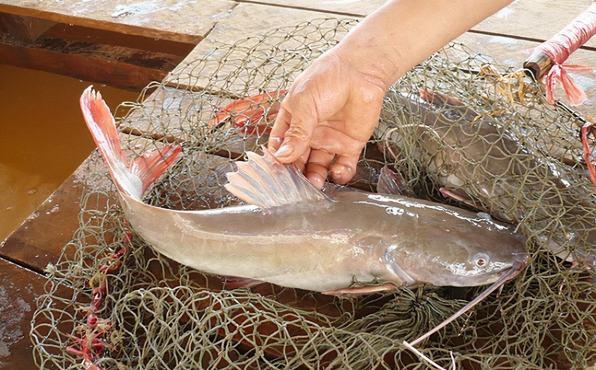 Cá lăng đuôi đỏ ở sông Serepok. Ảnh: Poliva