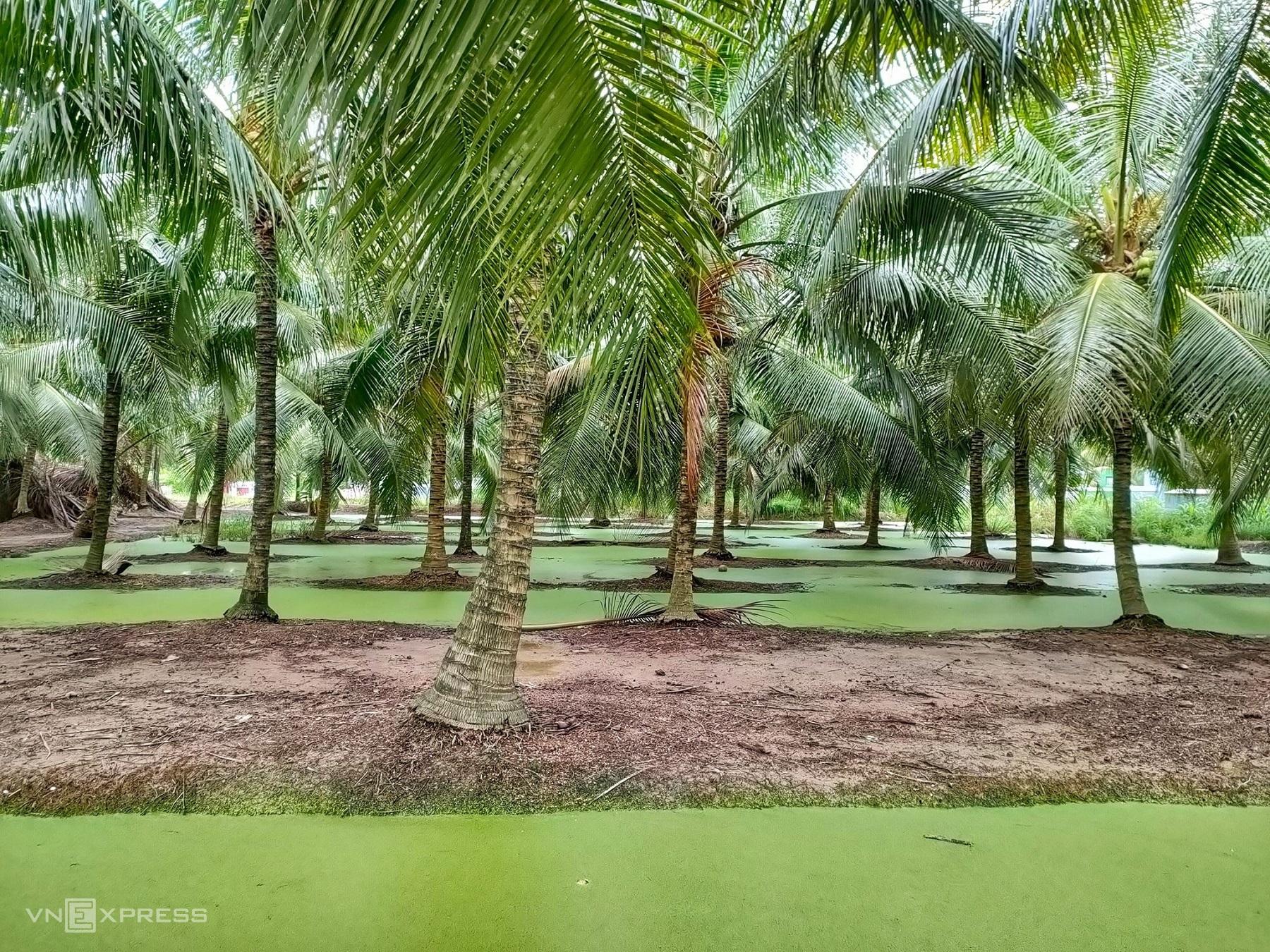 Các luống trồng dừa trải dài tại ấp 3, Hưng Nhượng, Giồng Trôm. Du khách đến Bến Tre du lịch sinh thái bắt gặp các miệt vườn trồng dừa như thế.