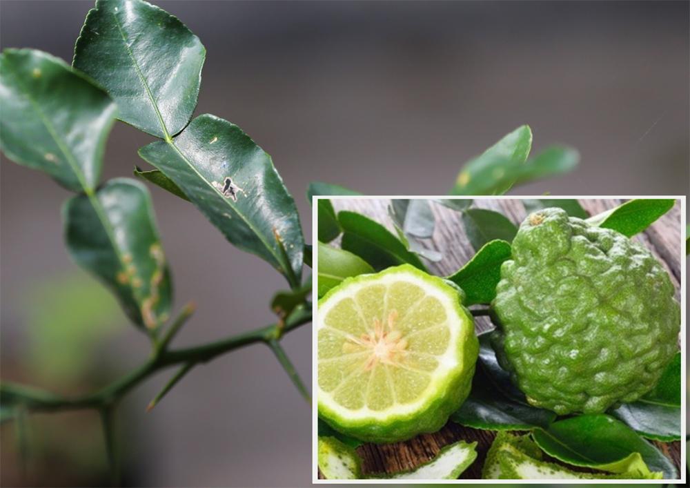 Lá chúc và trái chúc được dùng nhiều trong chế biến món ăn ở các tỉnh đồng bằng sông Cửu Long. Ảnh: Quỳnh Trần - Quang Thiện
