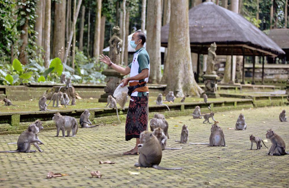 Made Mohon cho khỉ ở Sangeh ăn ngày 1/9. Ảnh: AP