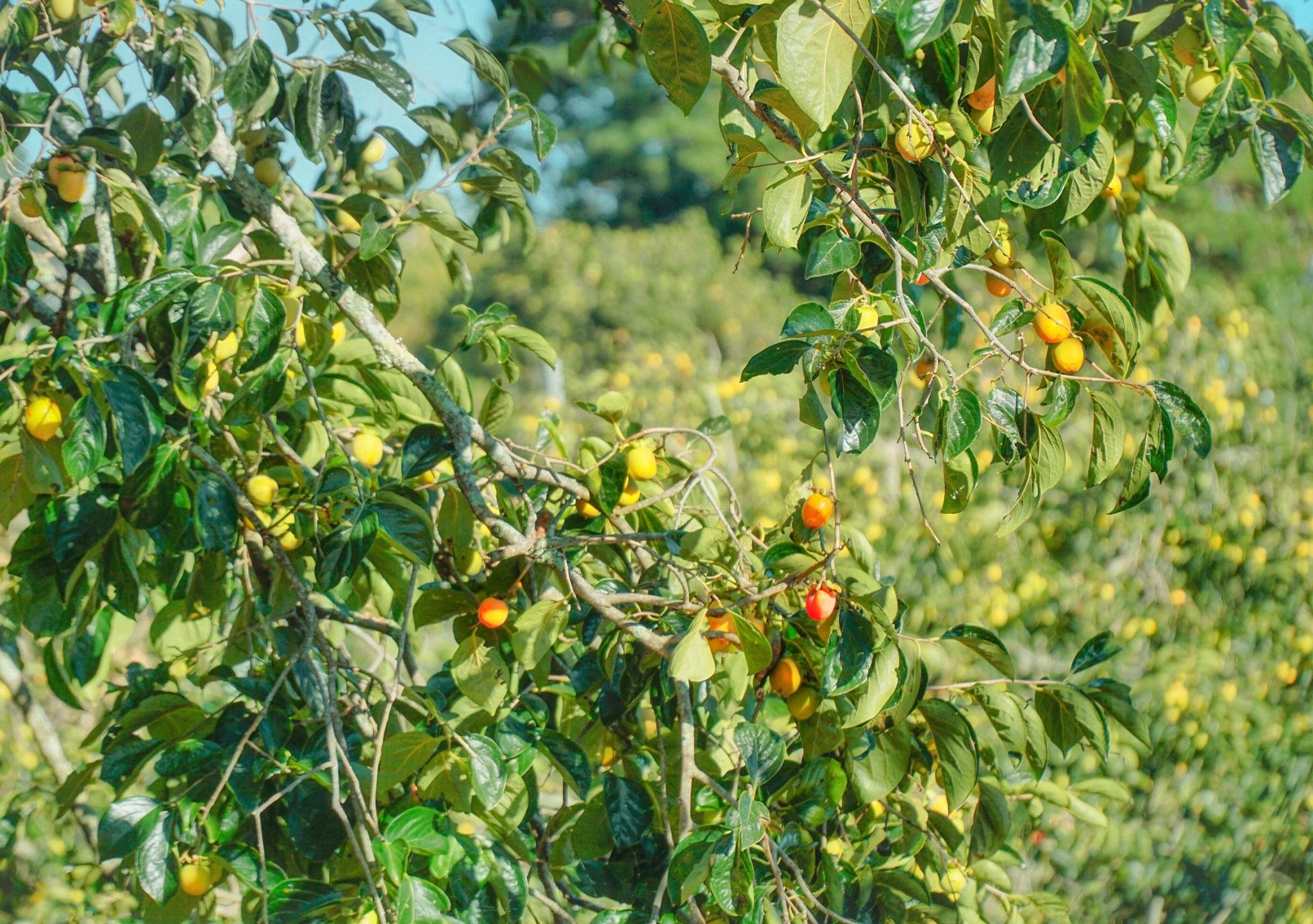 Cây hồng là cây ăn quả đặc thù của vùng cao nguyên, với diện tích trồng trên 370 ha tập trung ở vùng ngoại ô các phường, các xã Xuân Thọ, Xuân Trường, Tà Nung, Đà Lạt và thị trấn D'Ran, huyện Đơn Dương lân cận.   Việt Anh cho biết vợ chồng chị từng đi Nhật đúng vào mùa hồng, mê mẩn trước khung cảnh đẹp như tranh với những cây hồng trái đỏ nép mình bên các nhà gỗ ở Kyoto. Sau này, cơ duyên đến với gia đình và hiện sở hữu một vườn hồng đẹp không thua kém bên Nhật. Vườn hồng không cần tốn nhiều công chăm sóc, nơi này là xứ hồng, thổ nhưỡng thích hợp trồng hồng, nên cả năm chỉ cần bón phân hữu cơ, cứ đến mùa là thu hoạch trái sạch.  Ngoài làm lại lối đi vào vườn, anh chị còn dựng căn nhà gỗ, vài túp lều mộc mạc dưới tán hồng già và bố trí các sàn gỗ để khách trải nghiệm hái hồng, chụp ảnh như đúng với cảm giác, kỷ niệm vợ chồng chị từng hái hồng ở Kyoto.