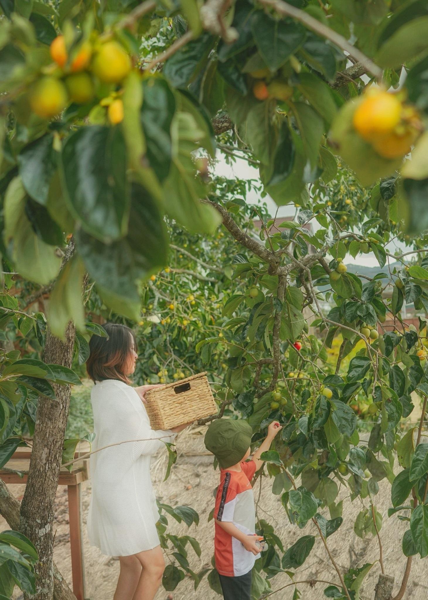 Cậu con trai theo chị Việt Anh trải nghiệm hái quả hồng.  Đầu tháng 9, những cây hồng đầu tiên trong vườn đã bắt đầu chuyển từ xanh sang hườm vàng. Vào thời điểm này các năm trước, nhiều du khách ghé thăm vườn, thích được check-in dưới tán hồng hoặc tự tay hái những quả hồng chín mọng ăn liền. Năm nay do Covid-19 kéo dài giãn cách, vườn hồng thưa vắng khách, nên trái hồng được hái sớm hơn, ủ hơi làm hồng giòn và gửi bán đi khắp các tỉnh.  Quả hồng chín đến đâu chúng tôi tự hái đến đó, các quả hườm vàng còn cứng được ủ hơi trong bao nylon 10 ngày hoặc dùng làm hồng treo gió kiểu Nhật, chị nói.Năm nay, dự tính cả vườn thu hoạch được hơn 2 tấn hồng ngon, không nhiều bằng năm ngoái do một phần trái rụng khi mưa bão đến sớm. Du khách đến tham quan có thể hái hồng, ăn thoải mái và giá bán mang về là 150.000 -180.000/túi 5 kg tuỳ thời điểm.