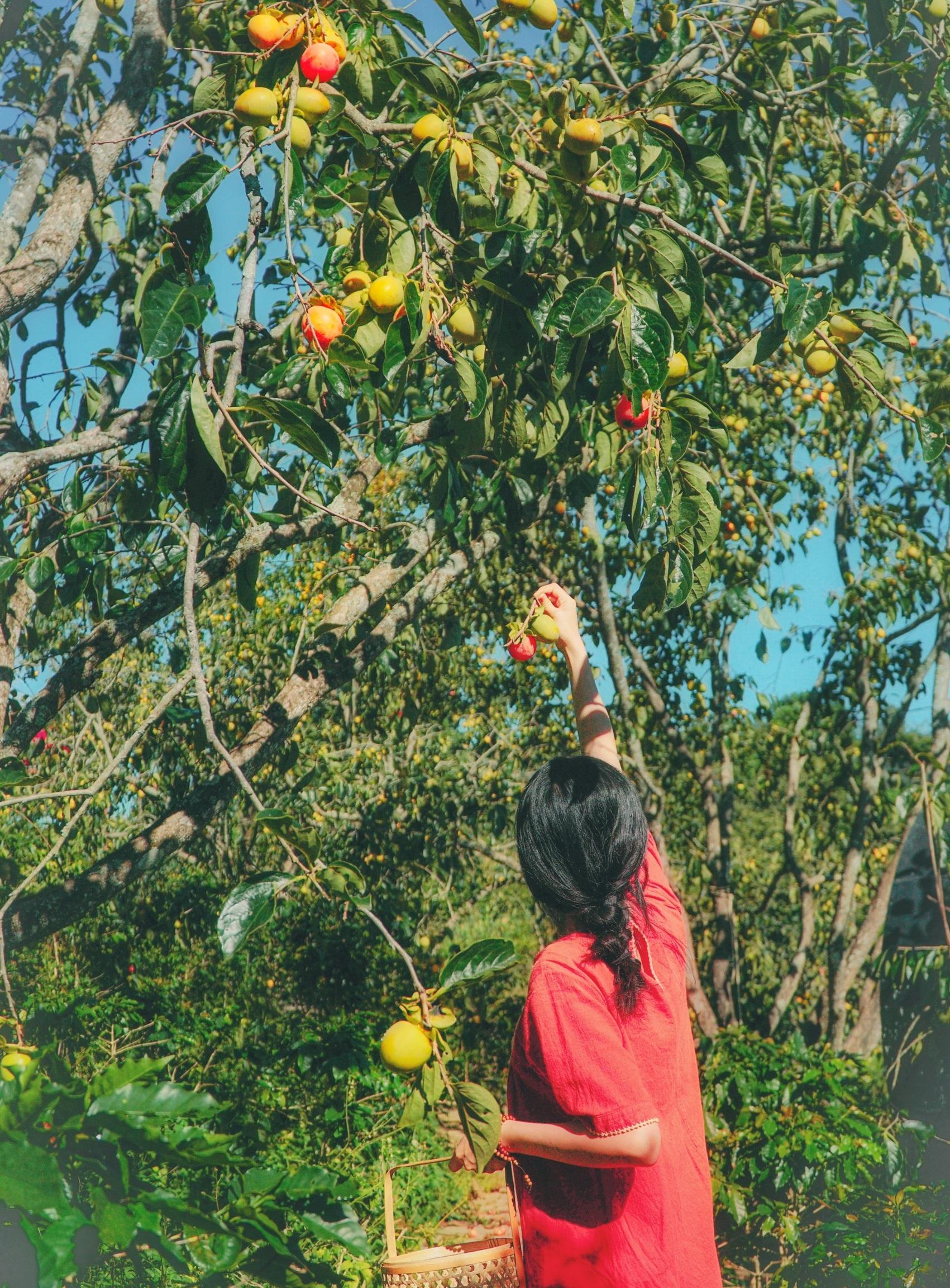 Thời trước, người Đà Lạt chưa biết cách làm hồng treo gió thì quả hồng đến mùa mất giá, chín rụng đầy vườn, chỉ thu hái ủ vôi cho hết chát. Bây giờ có nhiều cách sử dụng, khai thác quả hồng chín nên giá hồng khá hơn mang đến thu nhập cơ bản ổn định, chị nói.  Quả hồng muốn ăn chín cây không chát thì phải chọn quả đỏ mọng mềm, mỏng vỏ, khi cắn vào sẽ cảm nhận được vị ngọt lịm. Ngoài ra, có thể ủ hồng trong lu gạo theo phương pháp truyền thống để hồng chín đỏ mềm tự nhiên mang đến vị ngọt đậm đà, còn nếu ủ khí đá thì khi chín có vị ngọt nhạt, không ngon bằng.