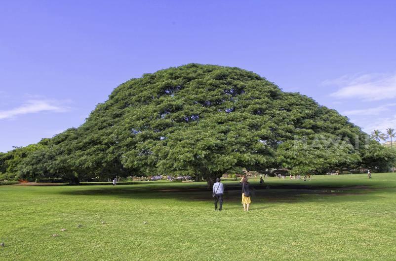 Trước dịch, xe buýt của khách du lịch từ Nhật Bản ghé thăm Vườn Moanalua mỗi ngày, với mục đích cụ thể là thăm cây Hitachi. Ảnh: Wiki