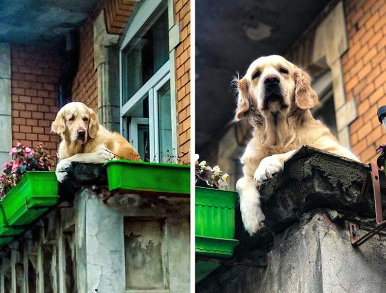 Milka và ban công nơi nó nằm hàng ngày để ngắm người đi qua lại tại Ba Lan. Ảnh: Facebook/Pjes z balkonu na rogu Politechnicznej i Bohaterów Getta Warszawskiego